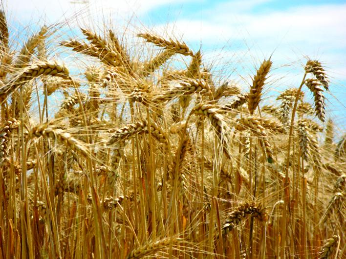 Arginin-Base ist rein pflanzlich und wird vor allem aus Getreide hergestellt
